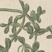 brahmi ofwel bacopa monnieri verbetert verwerkingssnelheid, geheugencapaciteit en leerprestaties.